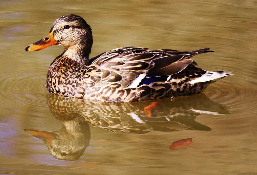 Duck Photograph - Duck Reflection by Paulette Thomas
