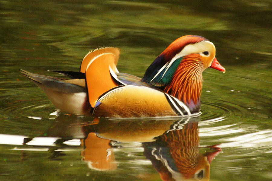 Copyright Derektxfactor Photograph - Duck Wild - Mandarin by DerekTXFactor Creative