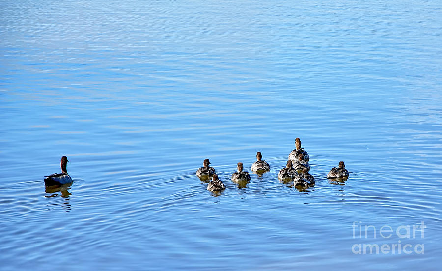 Ducklings Day Out Photograph - Ducklings Day Out by Kaye Menner