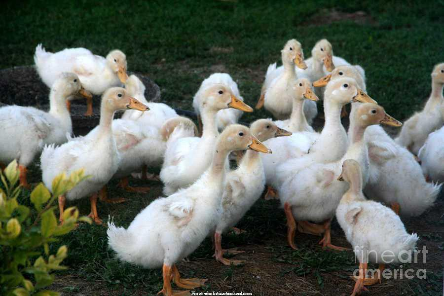 Ducklings In Clay Center Kansas Photograph - Ducklings In Clay Center Kansas by PainterArtist FIN