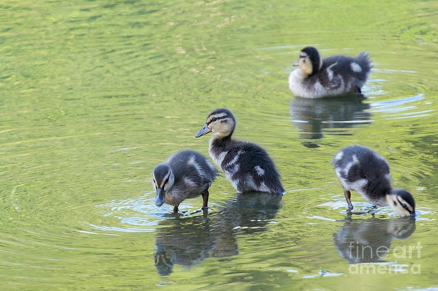 Ducklings by Miguel Celis