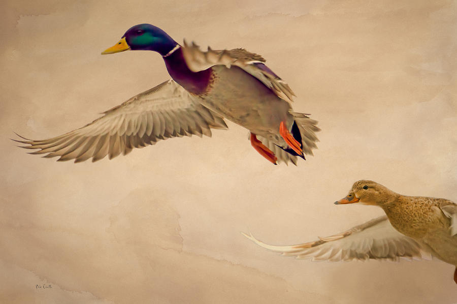 Duck Photograph - Ducks In Flight by Bob Orsillo