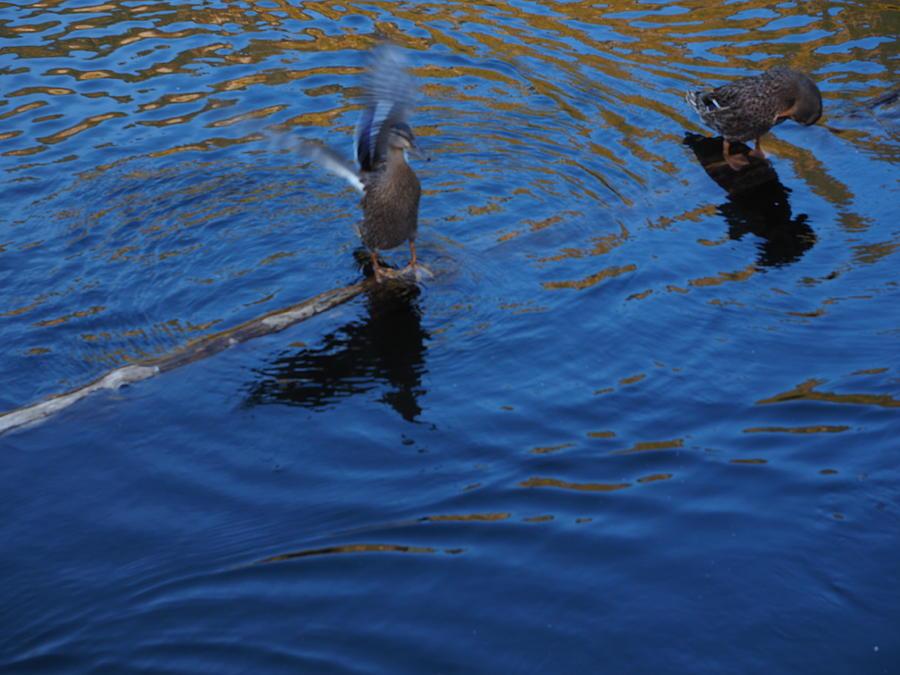 Ducks Photograph - Ducks by Mark Ball