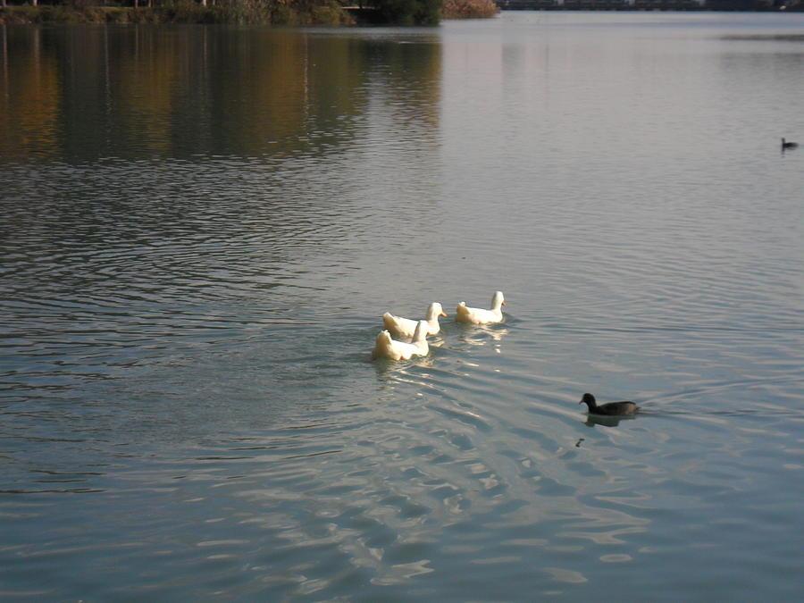 Ducks photograph by officeworks ducks photograph ducks by officeworks m4hsunfo