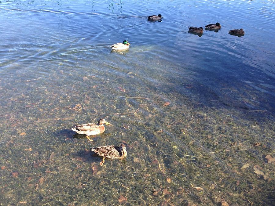 Ducks Photograph - Ducks by Ron Torborg