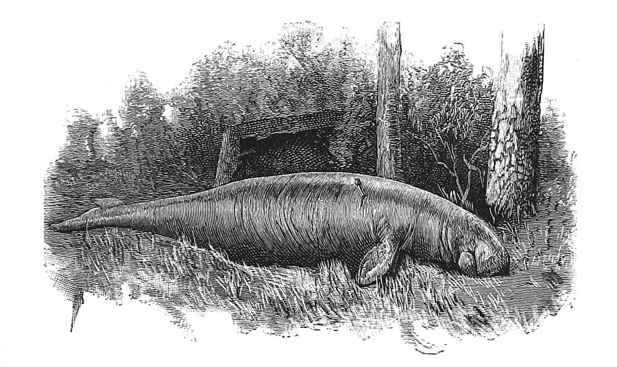 Illustration Photograph - Dugong, Sea-cow by British Library
