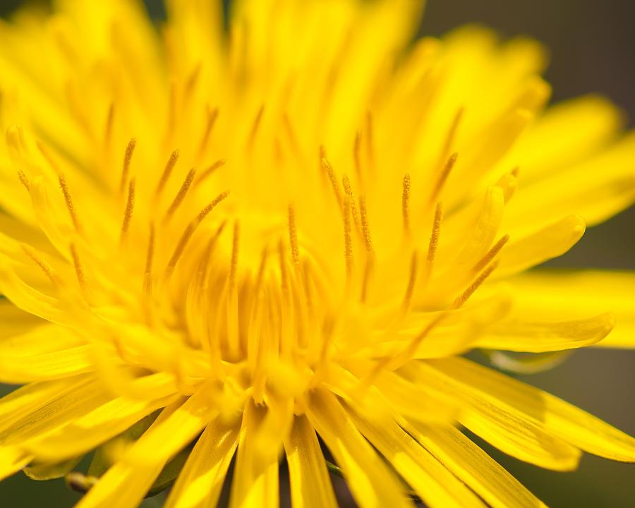 dulcet dandelion by Len Romanick