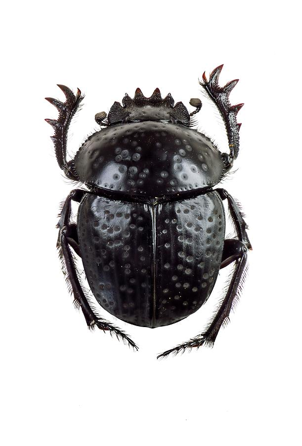 1 Photograph - Dung Beetle by F. Martinez Clavel