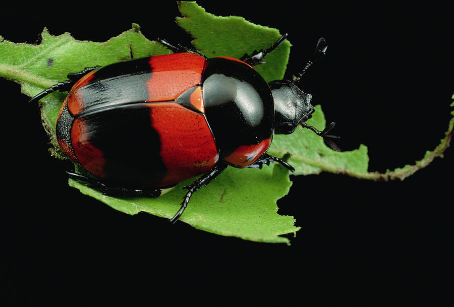 Dung Beetle Panama Photograph by Mark Moffett