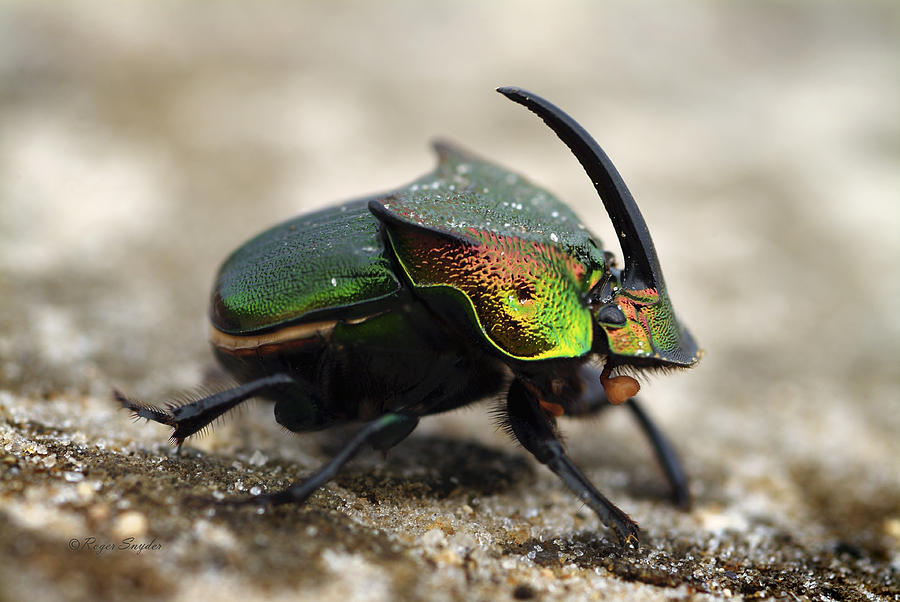 Beautiful Photograph - Dung Beetle by Roger Snyder