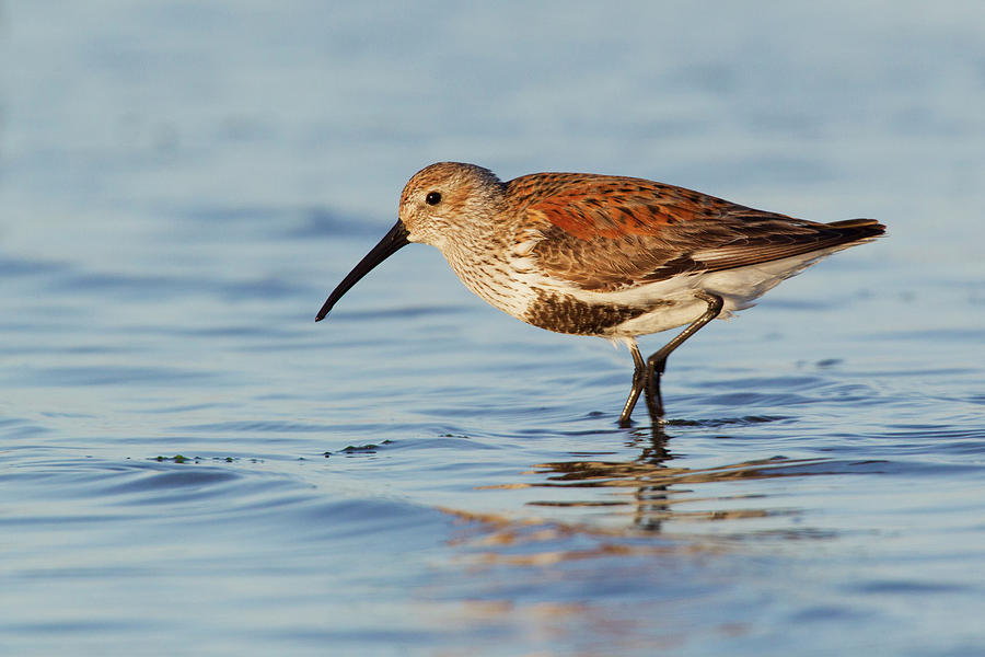 Calidris Alpina Photograph - Dunlin by Ken Archer