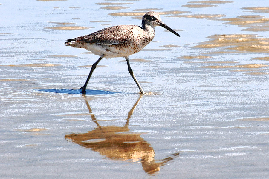 Dunlin on the shore by Peter DeFina