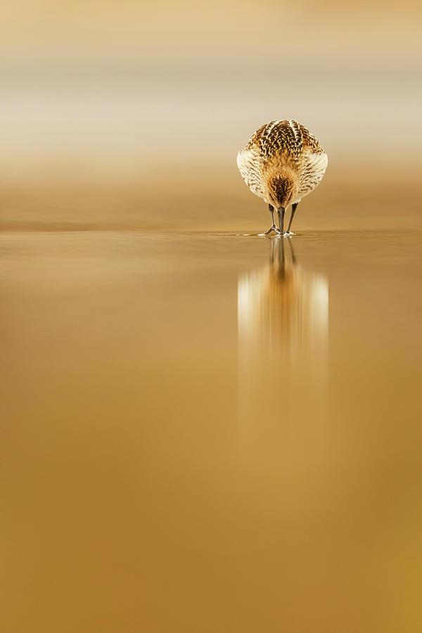 Dunlin Photograph - Dunlin Reflection by Mario Su?rez