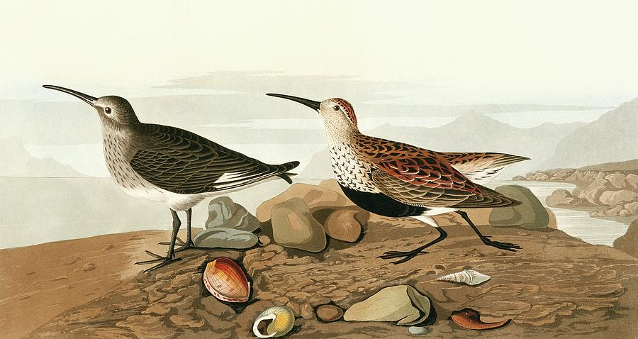 Illustration Photograph - Dunlins by Natural History Museum, London/science Photo Library