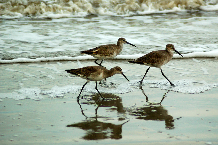 Dunlin's on the Shore by Peter DeFina