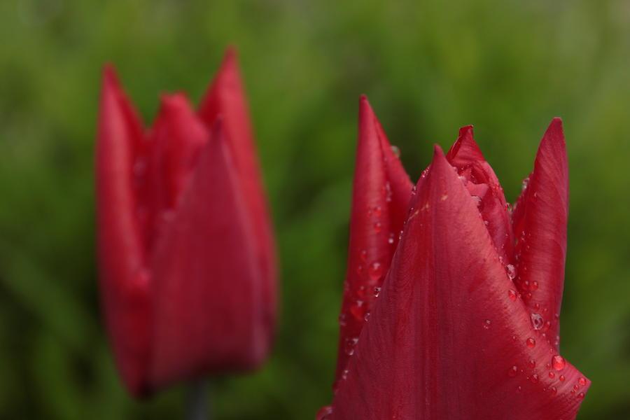 Flower Photograph - Duo Sous La Pluie by Maude Demers