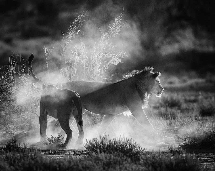 Lion Photograph - Dust Cats by Jaco Marx