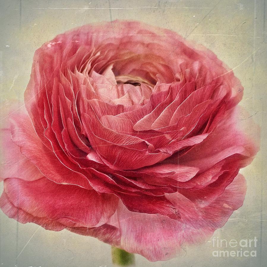 Ranunculus Photograph - Dusty Pink by Priska Wettstein