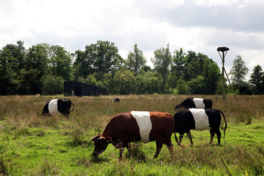 Dutch Belted Cows Photograph by Roel Meijer