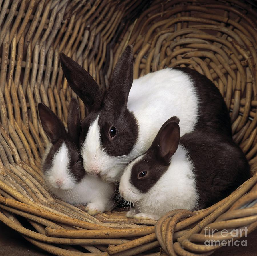 Pet Photograph - Dutch Rabbit With Young by E A Janes