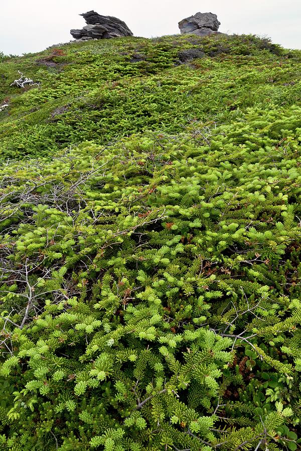 Canada Photograph - Dwarf Coastal Coniferous Vegetation by Bob Gibbons/science Photo Library