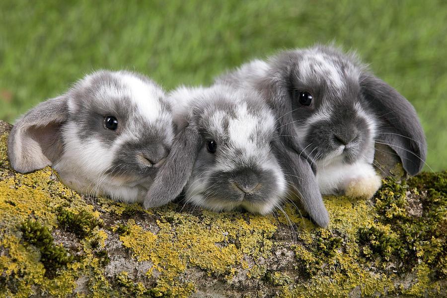 Dwarf Lop Rabbits Photograph By Jean Michel Labat