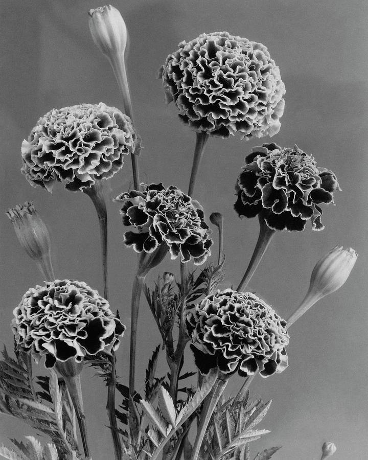 Dwarf Monarch Marigolds Photograph by J. Horace McFarland