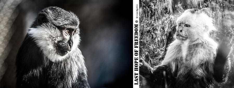 Wildlife Photograph - diptych Last hope of Freedom  by Stwayne Keubrick