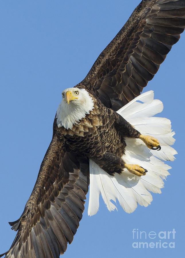 Bald Photograph - Eagle Embankment by John Blumenkamp