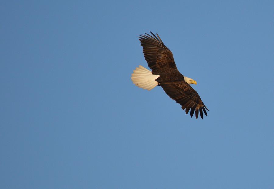 Eagle Photograph - Eagle Flight 2 by Bonfire Photography