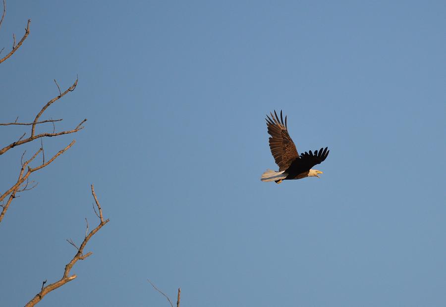 Eagle Photograph - Eagle Flight by Bonfire Photography