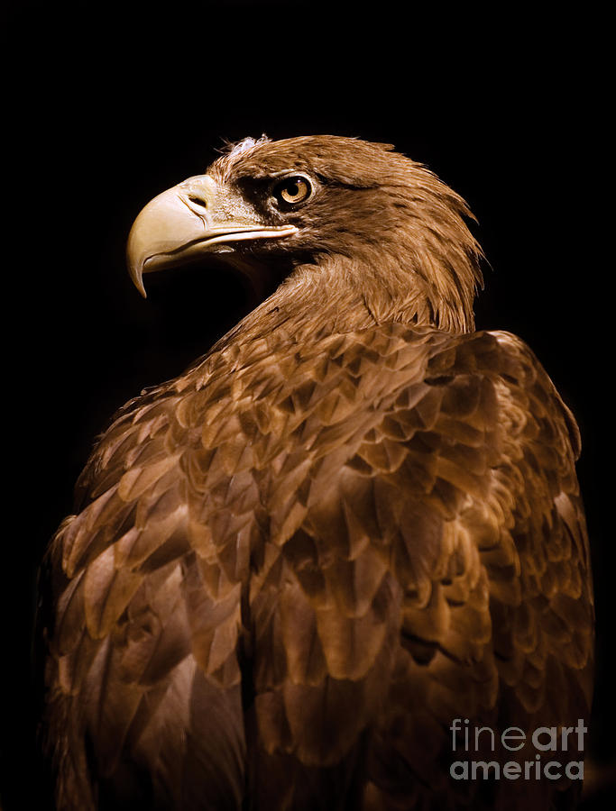 Aquila chrysaetos Golden eagle head portrait  by Arletta Cwalina