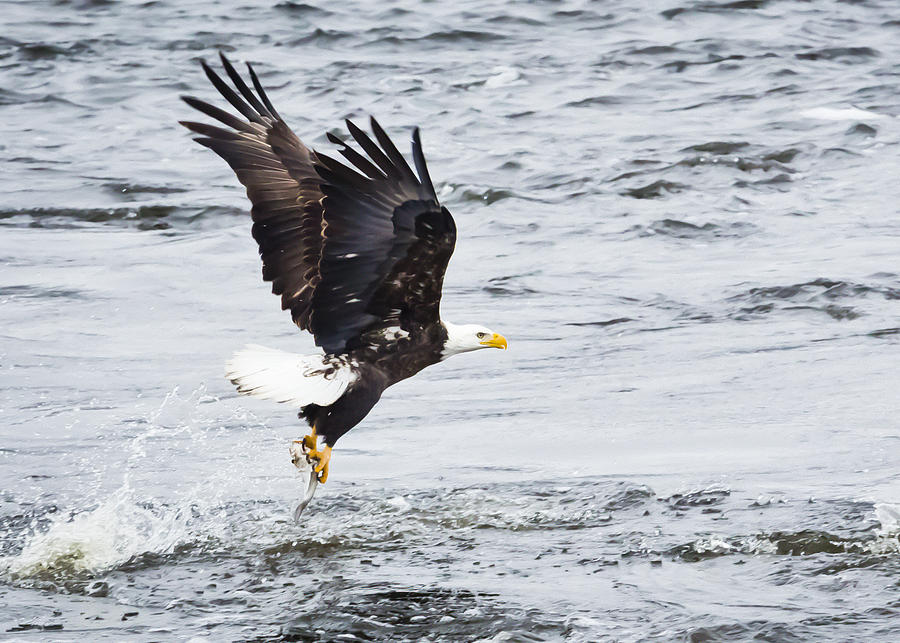 Canon Photograph - Eagle Hunting On The Wisconsin River by Ricky L Jones