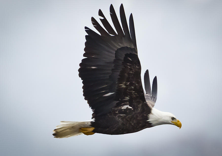 Canon Photograph - Eagle In Flight by Ricky L Jones