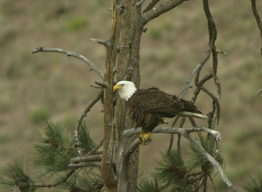 Eagle On A Tree Branch Photograph