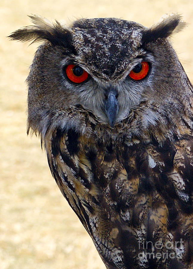 Owl Photograph - Eagle Owl by Anthony Sacco