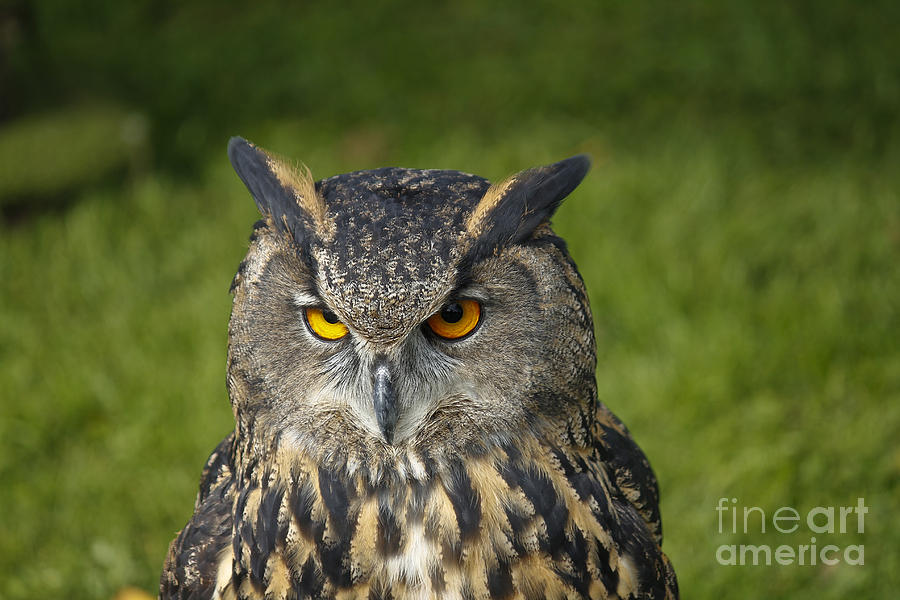 Clare Bambers Photograph - Eagle Owl by Clare Bambers