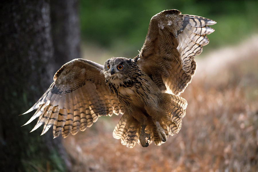 Eagle Owl Flying Photograph by Berndt Fischer