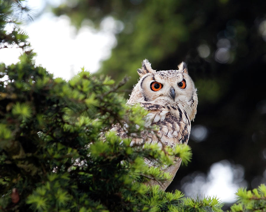 Eagle Owl Perching In A Tree Photograph by Photography By Alex Brunsdon