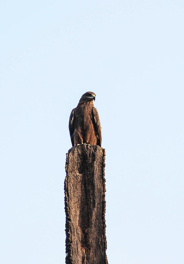 Eagle Photograph by Parveen Kumar