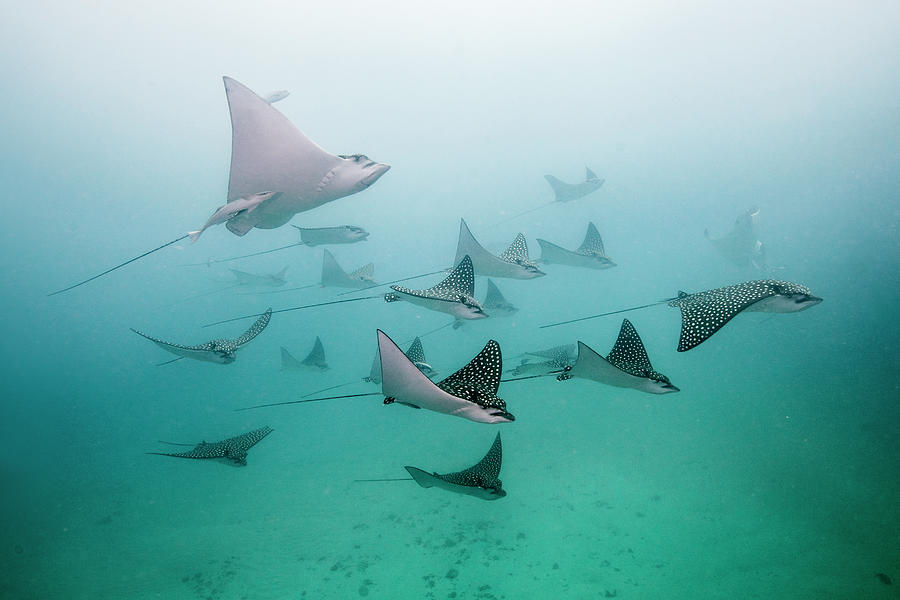 Eagle Rays Photograph by Colors And Shapes Of Underwater World