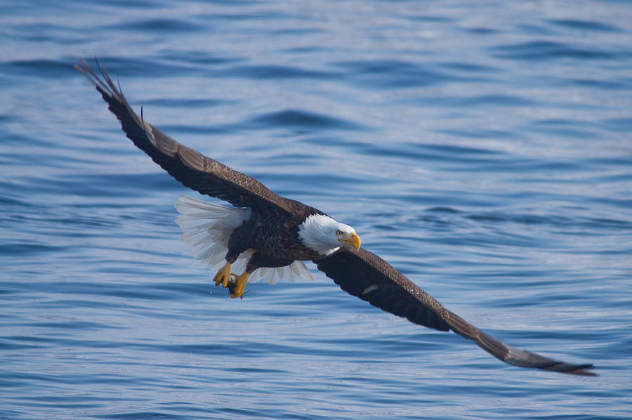 Eagle Soaring by Larry Bohlin