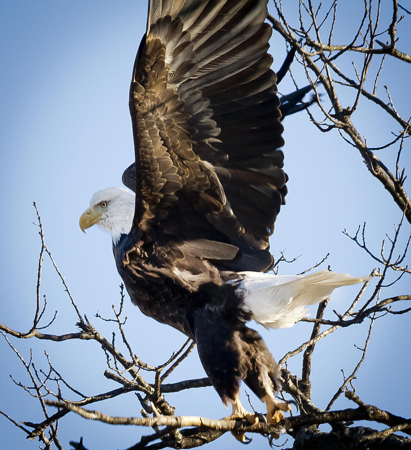 Canon Photograph - Eagle Taking Off by Ricky L Jones