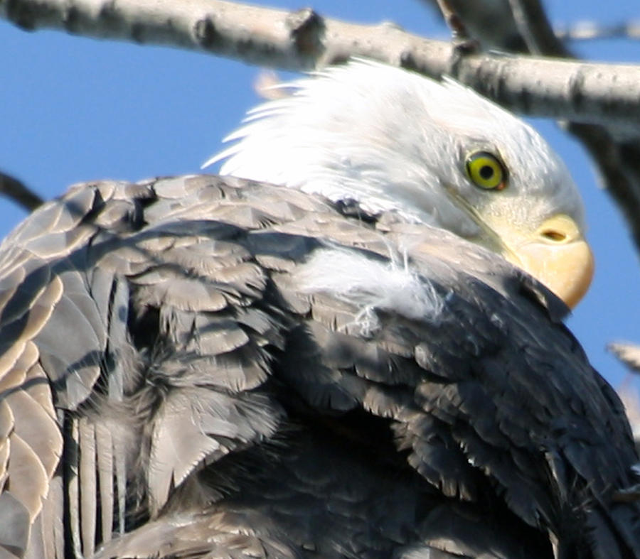Eagle Photograph - Eagle by Valerie Wolf