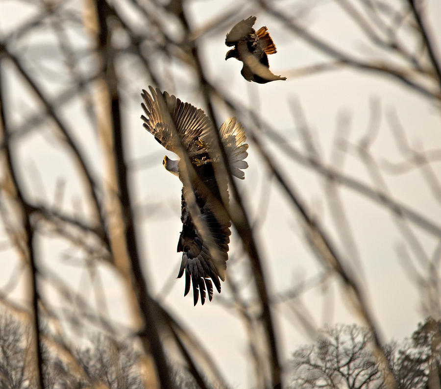 Bald Eagle Photograph - Eagle Vs. Red Tail Hawk by Matthew McAward