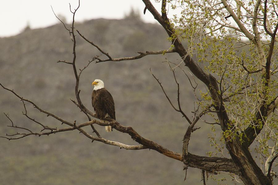Eagle Watch Photograph