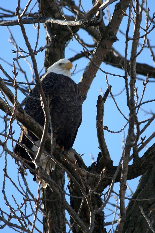 Eagle Photograph - Eagle Watch by Laurel Gillespie