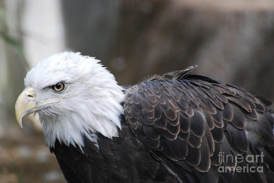 Eagle Photograph - Eagle With Ruffled Feathers by DejaVu Designs