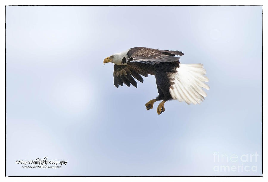 American Photograph - Eaglelanding Approach by Wayne Bennett