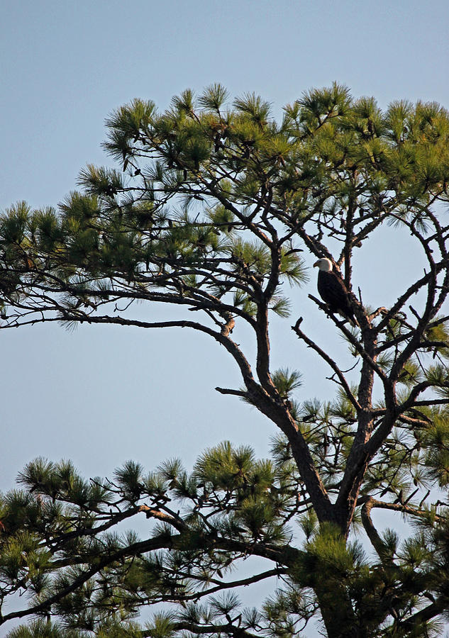 Eagle Photograph - Eagles Perch by Suzanne Gaff